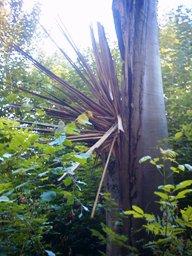 """Auenlandschaft: Hier Foto eines Baums, wo ein Blitzschlag eine bizarre """"Blütenblattformation"""" hinterlassen hat"""